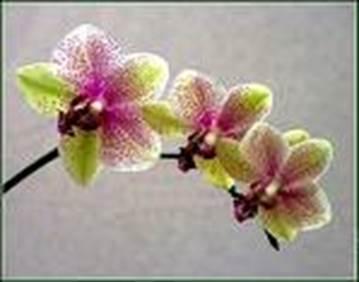 Alfa Orchidée