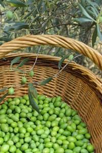 SRG Olivettes du pays de Nîmes