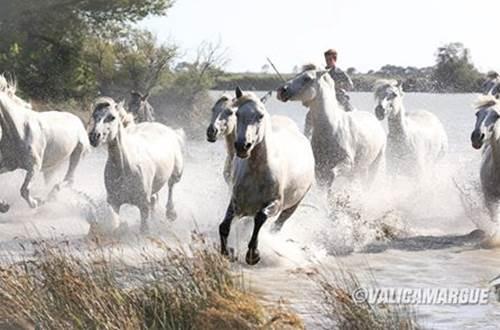 Gardian et chevaux ©