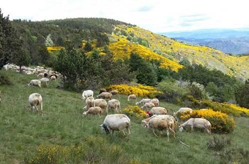 troupeau de moutons en transhumance ©