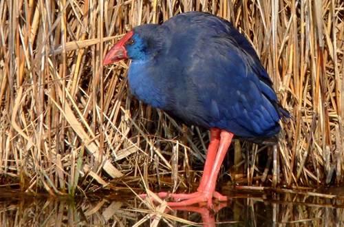Poule Sultane dans les étangs de Camargue ©