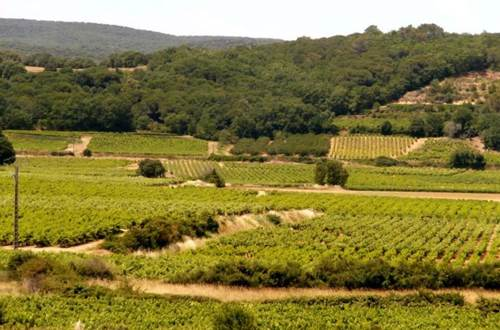 Les Vignerons de Saint-Gély - Vignes ©
