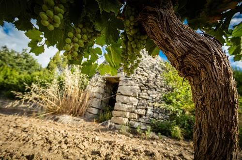 Capitelle et cep de vigne © 2017-Hervé Leclair Asphéries-Sud de France Développement