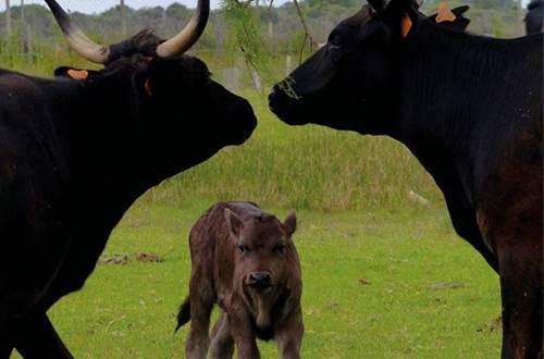 14a-Traditions et Taureauxavec légende-taurillon au centre avec 2 adultes-ce 24mars2021 ©